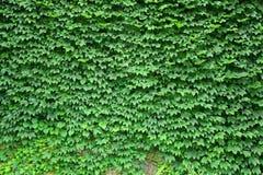 Textur för Boston murgröna Arkivfoto