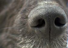 Textur för näsa för svart hund Royaltyfria Foton