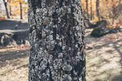 Textur och bakgrund för ekstam med mossa och laven Mossig textur för skällträd Abstrakt textur och bakgrund för design Arkivbild