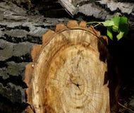 Textur och lättnaden av skällträdet Arkivfoto