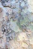 Textur som göras av platanskäll Arkivbild