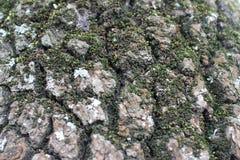 Textur - trädskäll Arkivbilder