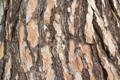 Textura áspera de madera Textura del pino Macro Fotos de archivo