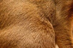 Textura abisinia de la piel del gato Imagenes de archivo