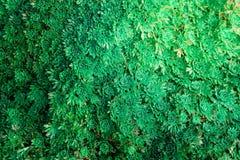 Textura abstrata de flores verdes com tonificação do efeito Foto de Stock