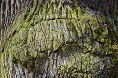 Textura altamente detallada de la corteza de árbol roble Fotografía de archivo