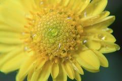 Textura amarela da flor, teste padrão macro, foto bonita de uma flor no macro com gotas do orvalho ou da água nele na mola na nat fotos de stock