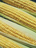 textura amarela do milho, vegetais Fotos de Stock Royalty Free