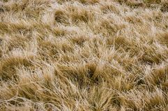 Textura amarilla de la hierba Fotografía de archivo libre de regalías