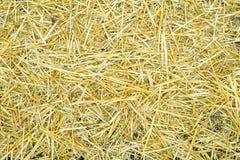 Textura amarilla seca del fondo de la hierba de la paja después de la más havest Fotos de archivo