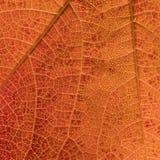 Textura anaranjada de la hoja con pequeños descensos y venas foto de archivo
