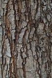 Textura ascendente del cierre del uso de madera de la corteza del pino como backgrou natural del tablón Fotografía de archivo