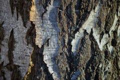 Textura blanca de la corteza de árbol en un árbol de abedul foto de archivo libre de regalías