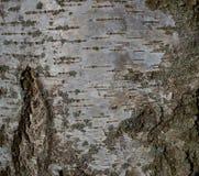 Textura blanca del árbol de corteza de abedul en parque imagenes de archivo