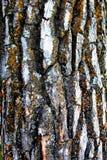 Textura blanca del roble foto de archivo libre de regalías
