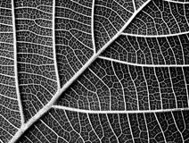 Textura blanco y negro de la hoja Fotografía de archivo libre de regalías