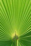 Textura bonita da folha da palmeira Imagens de Stock