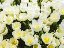 Textura branca das tulipas Imagem de Stock Royalty Free