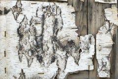 Textura branca lascada velha da casca com os grampos em pranchas de madeira marrons imagens de stock royalty free