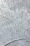 Textura cinzenta resistida natural do corte do coto da árvore Fotos de Stock
