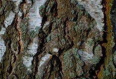 Textura colorida da árvore de casca com musgo azul imagens de stock