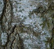 Textura colorida da árvore de casca do vidoeiro com musgo azul foto de stock royalty free