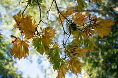 Textura colorida das folhas no outono Fotos de Stock Royalty Free