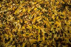 Textura colorida de las hojas en otoño Imagen de archivo