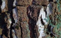 Textura colorida del árbol de corteza con el musgo azul foto de archivo libre de regalías