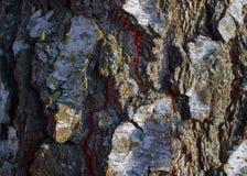 Textura colorida del árbol de corteza con el musgo azul foto de archivo