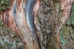 Textura colorida hermosa del árbol de corteza con el musgo azul fotos de archivo