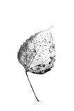Textura com as folhas podres com fibras Imagem de Stock