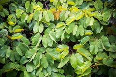 Textura com folhas dourada da liana Fotos de Stock Royalty Free