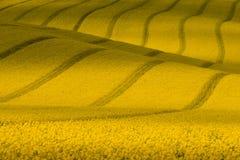 Textura com violação Campo ondulado amarelo da colza com listras Paisagem rural do verão do veludo de algodão em tons amarelos Ca fotos de stock