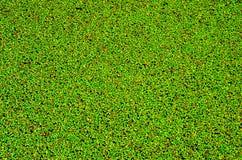 Textura completa do quadro da lentilha-d'água comum Fotos de Stock Royalty Free