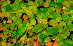 Textura completa do quadro da lentilha-d'água comum Imagem de Stock Royalty Free