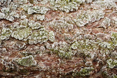 Textura congelada da casca do larício Foto de Stock Royalty Free