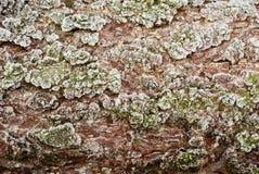 Textura congelada de la corteza del alerce Foto de archivo libre de regalías