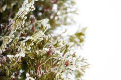 Textura cubierta árbol del hielo del Thuja Imagen de archivo