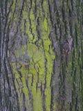 Textura cubierta de musgo hermosa del árbol Imagen de archivo libre de regalías