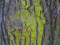 Textura cubierta de musgo hermosa del árbol Imagenes de archivo