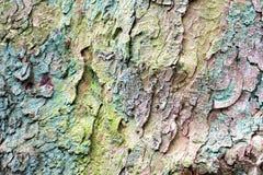 Textura cubierta musgo de la corteza del pino Fotografía de archivo libre de regalías