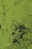 A textura da água do pântano pontilhou com o vegetatio verde da lentilha-d'água e do pântano foto de stock