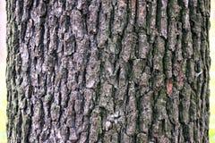 Textura da árvore de Aspen Imagens de Stock Royalty Free