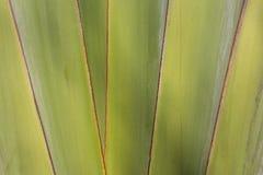 Textura da árvore de banana imagem de stock royalty free