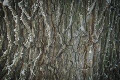 Textura da árvore de casca Imagens de Stock