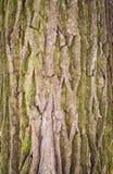 Textura da árvore de casca Foto de Stock