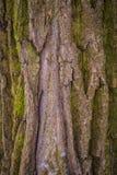 Textura da árvore de casca Fotografia de Stock Royalty Free