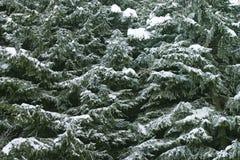 Textura da árvore do inverno Imagem de Stock