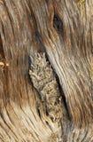 Textura da árvore do zimbro no fim da tarde imagens de stock